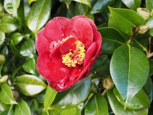 Camellia 'Midnight Magic'