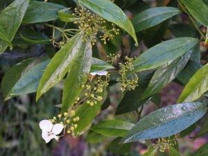 Hydrangea lobbii