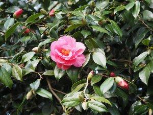 Camellia 'Celebration'