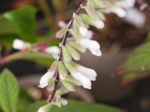 Salvia 'Waverley'