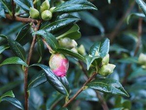 Camellia 'Mary Phoebe Taylor'