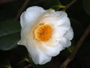 Camellia 'Alba Simplex'