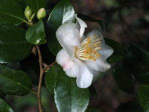 Camellia 'Cinnamon Sensation'