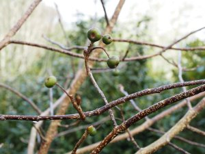 Sorbus eleonorae