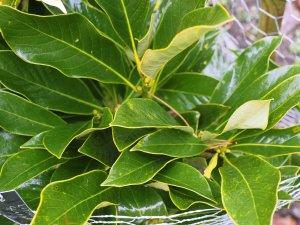 Lithocarpus glabrata