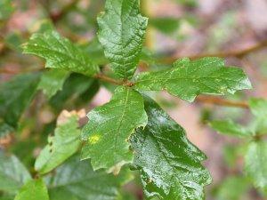 Quercus gregii