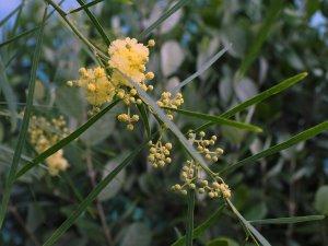 Acacia rhetinodes
