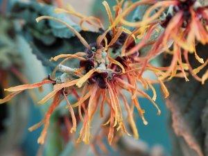 Hamamelis x intermedia 'Copper Beauty' (syn. 'Jelena')