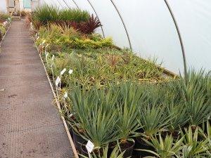 Yuccas, Cordyline and Phormium