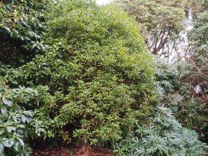 Lithocarpus lepidocarpus