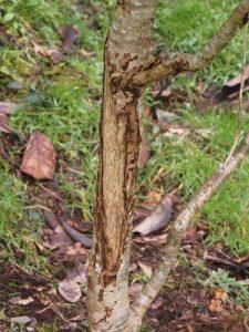 Lithocarpus corneus