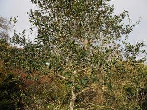 Quercus wizlizenii
