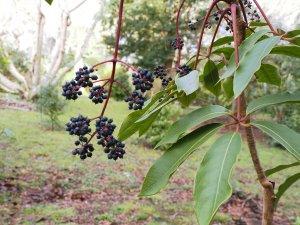 Schefflera aff. pauciflora
