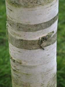 Betula utilis var. jacquemontii 'Inverleith'