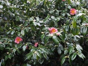 Camellia 'New Venture'