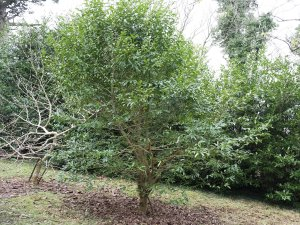 Magnolia martinii