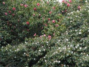Camellia 'Cornish Snow' and Camellia reticulata 'Mary Williams'