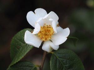 Camellia grisjii