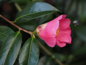 Camellia x williamsii 'John Pickthorn'