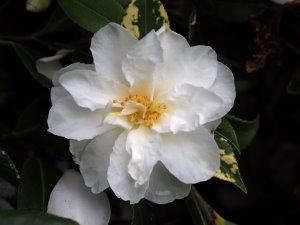 Camellia x vernalis 'Dawn'