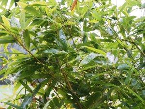 Phyllostachys nidularia