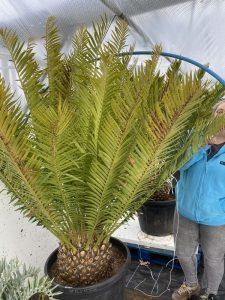 Encephalartos  alternsteinii