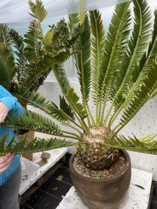 Encephalartos  lebomboensis