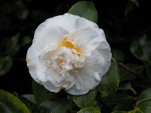 Camellia 'Jury's Yellow'