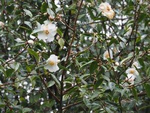 Camellia 'Cornish Snow Michael'