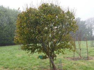 Carpinus rankinensis
