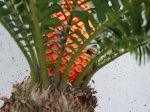 Encephalartos ferox