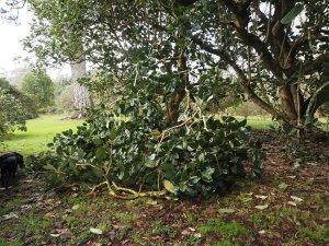 Magnolia delerayi