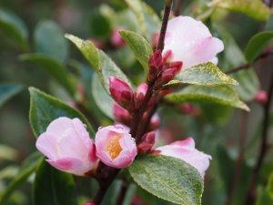 Camellia 'Fairy Blush'