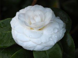 Camellia x williamsii 'Jorey Carlyon'