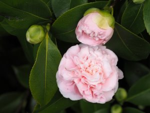 Camellia x williamsii 'Debutante'
