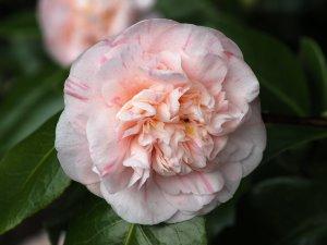 Camellia 'Margherita Coleoni'