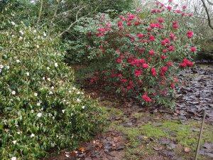 Camellia 'Winton' and Rhododendron 'Winter Intruder'