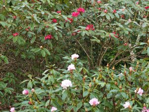 Rhododendron 'Christmas Cheer' and Rhododendron 'Winter Intruder'