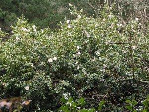 Camellia x williamsii 'J C Williams'