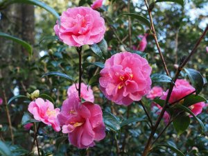 Camellia x williamsii 'Inspiration'