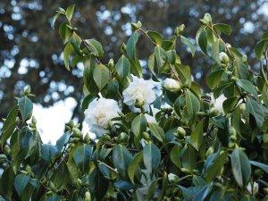 Camellia 'Lulu Belle'