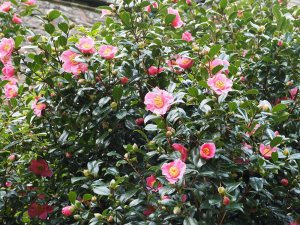 Camellia x williamsii 'Rosemary Williams'