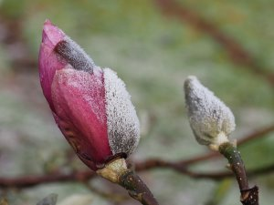 Magnolia 'Todd's Fortyniner'