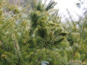 Podocarpus acutifolis