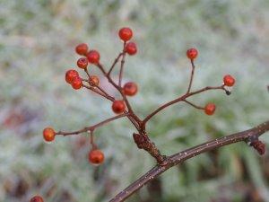 Sorbus dunnii