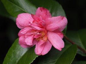 Camellia lutchuense hybrid