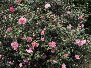 Camellia x williamsii 'Monica Dance'