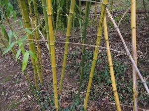 Phyllostachys vivax f. aureocaulis