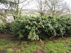 Sasa palmata f. nebulosa