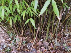 Thalmnocalamus crassinodus